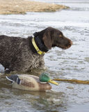 Dog and a Decoy. Hunting Dog standing in the ice next to a decoy Stock Images