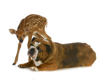 Dog and deer Stock Photos