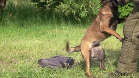 Dog is defending a bag from stranger. Dog is defending a bag from stranger, slow motion, close-up stock video footage