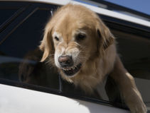 Dog defending car Stock Photo