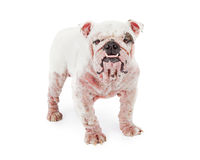 Dog With Demodectic Mange Royalty Free Stock Images