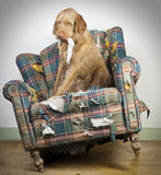 Dog demolishes chair Stock Photo