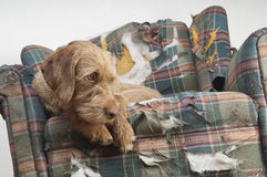 Dog demolishes chair Royalty Free Stock Image