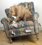 Dog demolishes chair Royalty Free Stock Images
