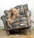 Dog demolishes chair Stock Images
