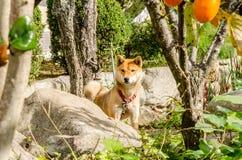 Dog den Akita hunden eller den akita inuen i husträdgården Arkivfoto