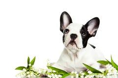 Dog den franska bulldoggen med blommor som isoleras på vit bakgrund Arkivbild