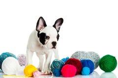 Dog den franska bulldoggen med threadballs som isoleras på vit bakgrund Arkivbild