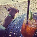 Dog den Pitbull valpen vid tabellen med en drink Royaltyfri Foto