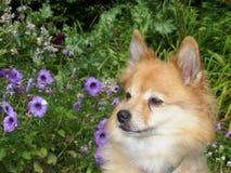 dog den små petuniasen Arkivfoto