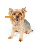 Dog with dental stick in the mouth Stock Photo