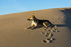 Dog in Desert. A lonely dog in the sunset Stock Photography
