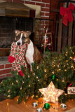Dog Destroys Christmas. A cute dog that knocked over the Christmas tree to get the stocking Royalty Free Stock Image