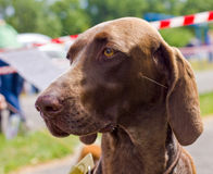 Dog Deutsch Kurzhaar breed. Close-up portrait of the dog Deutsch Kurzhaar breed, shallow depth of field Royalty Free Stock Photo