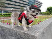 The dog in devil costume is traveling. Shishu cute dog in devil costume is traveling. It very funny Royalty Free Stock Photos