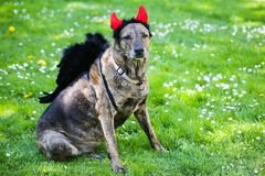 Dog with devil horns and angel wings. Funny dog Royalty Free Stock Photo