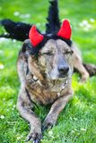 Dog with devil horns and angel wings. Funny dog Stock Images