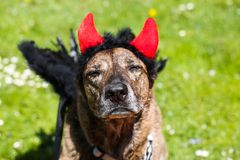 Dog with devil horns and angel wings. Funny dog Stock Image