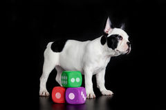 Dog with dices isolated on black background French Stock Photos