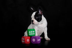 Dog with dices isolated on black background Royalty Free Stock Photos