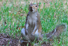 The dog did it - Squirrrel. Squirrel on L sitting up after digging in the dirt with dirt all on his paws and mouth Stock Images