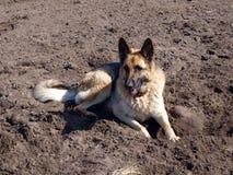 Dog digger 2 Royalty Free Stock Image