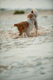 Dog digging. Odd looking dog digging in the sand Royalty Free Stock Image