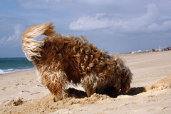 Dog digging. Long yellow and brown fur domestic dog digging a hole on the sand Stock Photos
