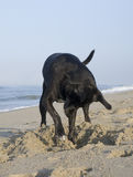 Dog digging at beach Royalty Free Stock Photos