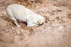 Dog digging his head in the sand. White dog digging his head in the sand Stock Photography