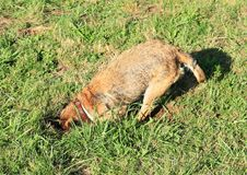Dog digging hole into burrow. Brown dog digging hole into burrow in green grass on meadow royalty free stock photo