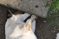 Dog digging a hole. Cute smooth fox terrier digging a hole stock image
