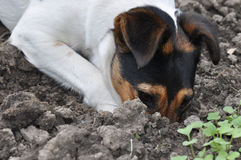 Dog digging a hole Royalty Free Stock Images