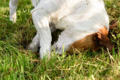 Dog digging hole in grass and soil with paws and head Stock Photos
