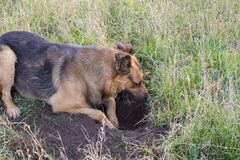 Dog digging hole Royalty Free Stock Photo