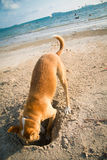 The dog digging a hole in the sand stock photography