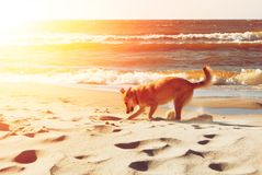 A dog digging a hole in the sand dune at the beach in the evenin. G sunlight on summer holiday vacation, sea ocean shore behind, toned Stock Photography