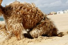 Dog digging. Long yellow and brown fur domestic dog digging a hole on the sand Royalty Free Stock Photos