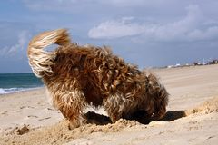 Dog digging. Long yellow and brown fur domestic dog digging a hole on the sand Royalty Free Stock Image