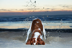 Dog Digging in Sand Royalty Free Stock Photography