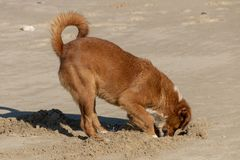A dog digging in the sand stock images
