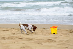 Dog digging in sand Royalty Free Stock Photo