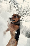 Dog digging the snowdrift Stock Photography