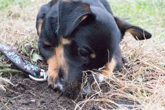Dog digging soil. A dog in a leash in a park digging the soil Royalty Free Stock Image