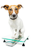 Dog on digital scale Stock Images