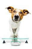 Dog on digital scale. Dog on  digital modern scale Stock Photo