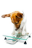 Dog on digital scale Stock Photos