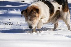 Mongrel digs something in the snow. Dog digs something in the snow Stock Photo