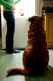 Dog dinner. Hungry dog waiting for a dinner. Refrigerator emit bright light. Dog feeding time Stock Photography