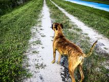 dog on dirt road Stock Photography